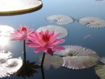 Water Lilies: Types and Varieties