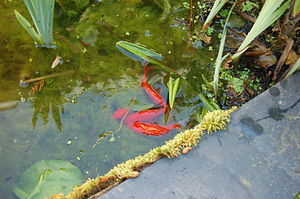 Goldfish (Carassius auratus) spawning in a pon...