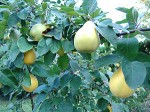 Growing Quince Trees