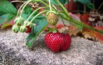 Growing Strawberry Plants in the Greenhouse