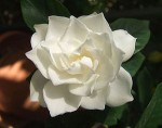 How to Grow the Beautiful Gardenia