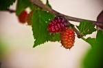 Growing Loganberries