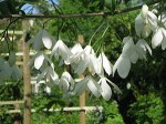 Halesia (Silver Bell, Snowdrop Tree)