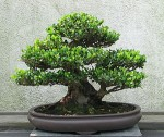 tips for growing bonsai