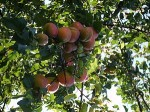 Step-by-step guide to growing Peaches