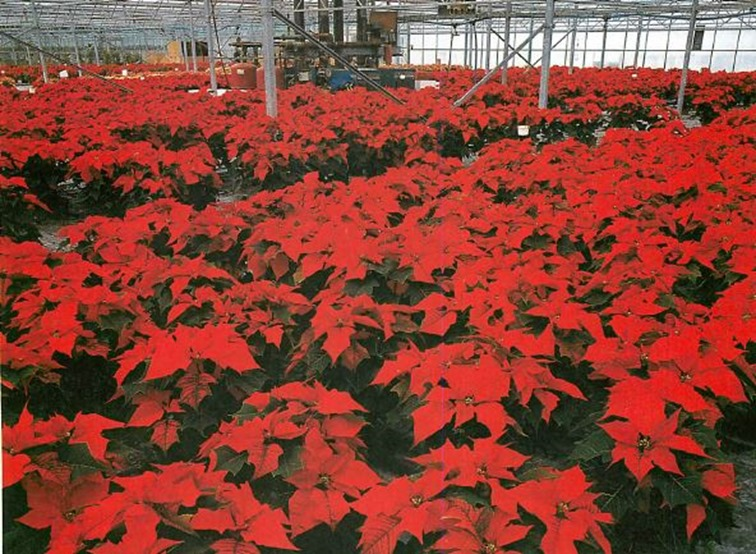 artificial regulation of daylength used to promote intense red colour of poinsettia bracts Euphorbia pulcherrima