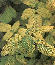 the characteristic yellowing between the leaf veins which shows a deficiency of iron symptomatic of alkaline conditions