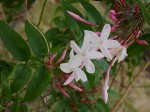 Jasminum : Greenhouse Plants